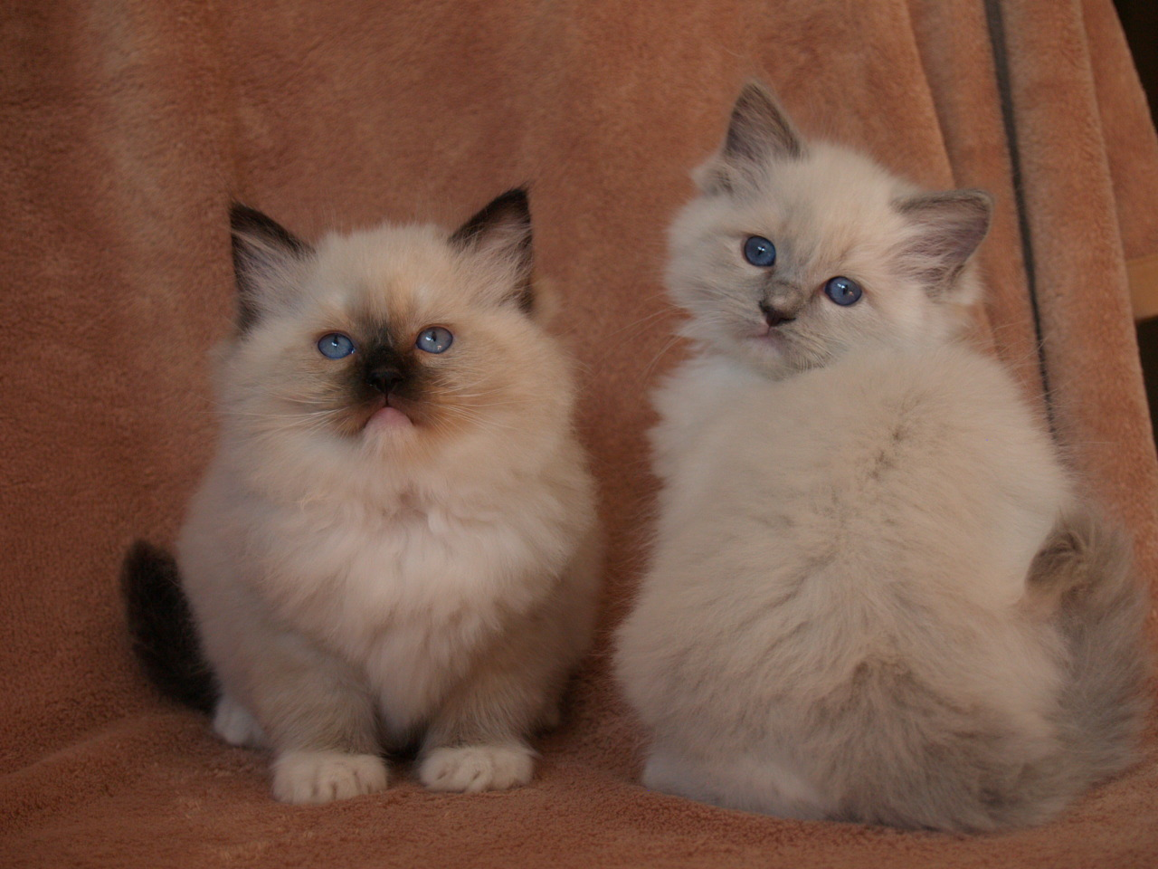 Three Rivers Ragdolls