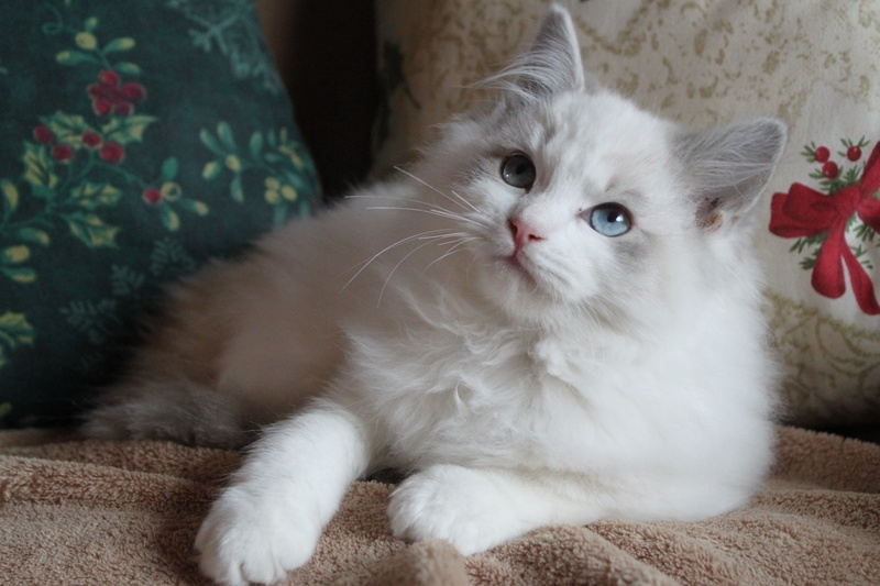 Rag Doll Cats For Sale In Texas